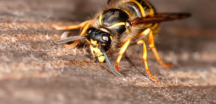 wasp control in East Anglia