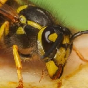 Wasp Control in Sudbury